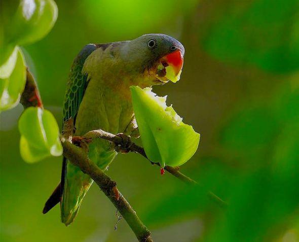 Parakeets Eating Starfruit Averrhoa Carambola