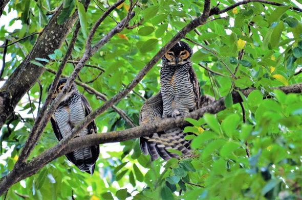 Spotted Wood Owl Mating Bird Ecology Study Group